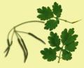Chelidonium majus leaves.png