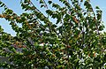 Cherry tree moving in the wind 1.jpg