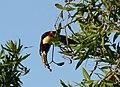 Chestnut-eared Araçari (Pteroglossus castanotis) (28001131474).jpg