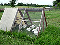 Chickens in tractor organic farm.jpg