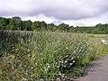 Chicory in Jubilee Park near WW2 AA battery - geograph.org.uk - 580036.jpg