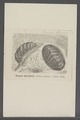 Chiton elegans - - Print - Iconographia Zoologica - Special Collections University of Amsterdam - UBAINV0274 081 06 0002.tif