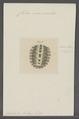 Chiton marmoratus - - Print - Iconographia Zoologica - Special Collections University of Amsterdam - UBAINV0274 081 06 0017.tif