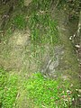 Chlorophytum comosum (Thunb.) Jacques (AM AK329756-5).jpg