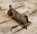 Chocolate-tip. Clostera curtula. Notodontidae (7061094769).jpg