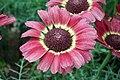 Chrysanthemum from lalbagh7264.JPG