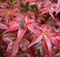 Chrysis ignita. Cuckoo Wasp. - Flickr - gailhampshire.jpg