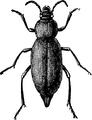 Churchyard Beetle.png