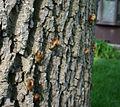 Cicadas climbing.jpg