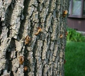Brood XIII - Image: Cicadas climbing