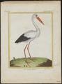 Ciconia alba - 1700-1880 - Print - Iconographia Zoologica - Special Collections University of Amsterdam - UBA01 IZ17600025.tif