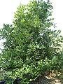 Cinnamomum tenuifolium3.jpg