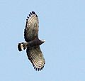 Circaetus cinerascens, Savate, Birding Weto, a.jpg