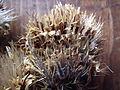 Cirsium longistylum (8155891011).jpg