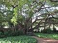 City Botanical banyan 1.jpg