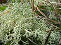 Cladina portentosa (2005 11 06).jpg