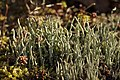 Cladonia sp. (40648164071).jpg