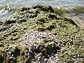 Cladophora and zebra mussels (8741972684).jpg