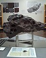 Clark Iron (Fragment of Canyon Diablo) in the UCLA meteorite museum.jpg