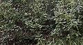 Clethra alnifolia NBG LR.jpg