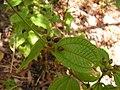 Clidemia hirta - Flickr - Tarciso Leão (2).jpg