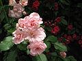 Climbing Rose 2012.jpg