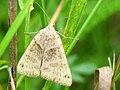 Clover Moth, Ottawa.jpg