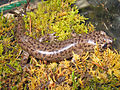 Coastal Giant Salamander, Dicamptodon tenebrosus.jpg