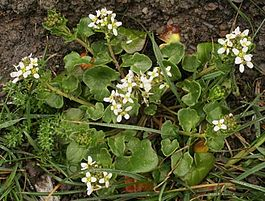 Cochlearia officinalis1.jpg