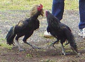 Cockfighting dsc01729