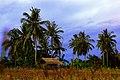 Coconut Trees in Saebus Island - panoramio.jpg