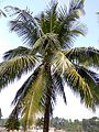 Coconut trees of Bangladesh 04.jpg