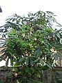 Codonopsis lanceolata and Tropaeolum speciosum in Schefflera taiwaniana - Flickr - peganum.jpg