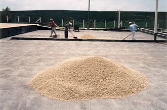 Coffee production - Coffee drying in the sun. Dolka Plantation Costa Rica