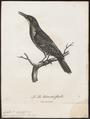 Colaptes olivaceus - 1796-1808 - Print - Iconographia Zoologica - Special Collections University of Amsterdam - UBA01 IZ18700239.tif
