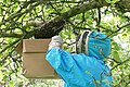 Collecting a Swarm of Bees - geograph.org.uk - 442496.jpg