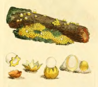 Coloured Figures of English Fungi or Mushrooms - t. 22.png