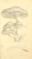 Coloured Figures of English Fungi or Mushrooms - t. 67.png