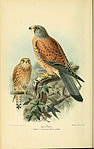 Coloured figures of the birds of the British Islands - issued by Lord Lilford (6029168332).jpg