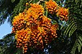 Colvillea racemosa 50D 5978.jpg