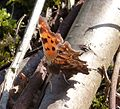 Comma... first of the year for me - Flickr - gailhampshire (1).jpg