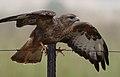 Common Buzzard (Steppe Buzzard), Buteo buteo vulpinus, on a fence along the R42, Gauteng, South Africa (32070091223).jpg