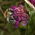 Common Carder-bee - Bombus pascuorum (15090835343).jpg