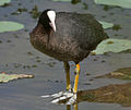 Common Coot (Fulica atra) in a Nelumbo nucifera (Indian Lotus) pond W IMG 8847.jpg