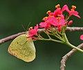 Common Emigrant (Catopsilia pomona)- Female on Jatropha panduraefolia at Kolkata Iws IMG 0209.jpg