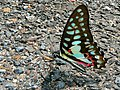Common Jay (Graphium doson) (7105660767).jpg