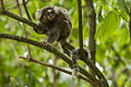 Common Marmoset - REGUA - Brazil MG 9436 (12931273744) (2).jpg