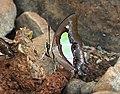 Common Nawab Polyura athamas by Dr. Raju Kasambe DSCN5879 (11).jpg