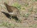 Common Sandpiper (Actitis hypoleucos) (48660193881).jpg