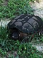 Common Snapping Turtle NC3.jpg